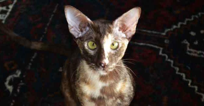 Kattenrassen Overzicht Raskatten